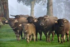Buffelsfamilie royalty-vrije stock afbeelding