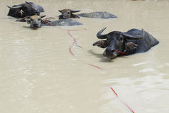 Buffelsfamilie in pool Royalty-vrije Stock Foto's