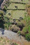 Buffelskrubbsår på fält Arkivbilder
