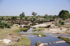 Buffelskudde stock afbeelding