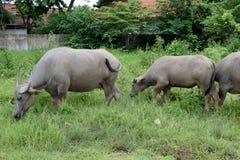 Buffelskudde Stock Foto's