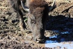 Buffelslooppas, Custer, Zuid-Dakota royalty-vrije stock afbeelding