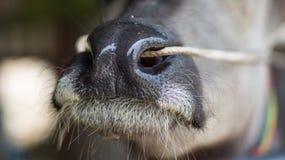 Buffelsneus Stock Foto