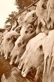 Buffelsschedel Stock Foto