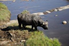 Buffelsstier royalty-vrije stock foto