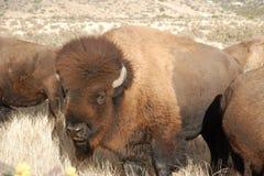 Buffelsstier in de zonnige kudde Royalty-vrije Stock Afbeeldingen