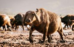 Buffelsstier met reusachtige hoornen en modder stock afbeelding