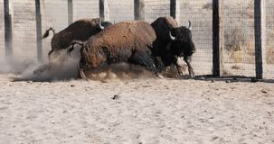 BuffelsStieregevecht Stock Foto