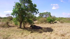 Buffelsstieren die in savanne in Afrika staren stock footage