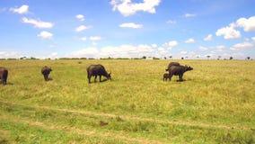 Buffelsstieren die in savanne in Afrika staren stock video