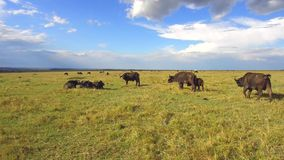 Buffelsstieren die in savanne in Afrika staren stock videobeelden