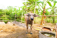Buffelstandingin en stall Arkivfoton