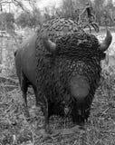 Buffelstaty royaltyfri bild