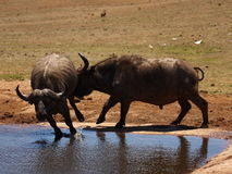 buffeltjurar Arkivbild