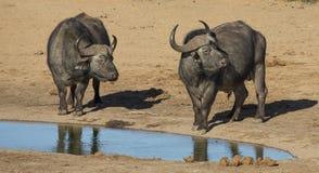 Buffeltjurar med stora horn på Waterhole Royaltyfria Bilder