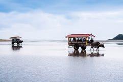 Buffelvagnen turnerar på stranden på Iriomote, Okinawa, Japan arkivbilder