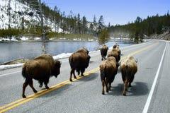 buffelvandring arkivbild