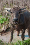 buffelvatten yang Arkivfoton