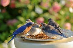 Buffet della prima colazione dell'uccellino azzurro Immagine Stock