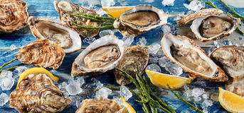 Buffet of fresh shucked oysters on ice. With green seaweed shoots and wedges of tangy lemon for flavoring, high angle, full frame view Stock Images