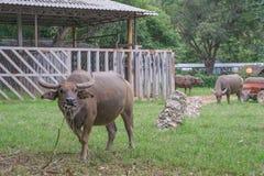 Bufflar Arkivbild