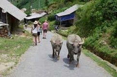 Bufflar i en by i Vietnam Arkivfoton