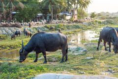Bufflar i fältet i Vietnam, Nha Trang Fotografering för Bildbyråer
