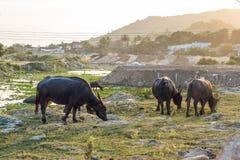 Bufflar i fältet i Vietnam, Nha Trang Royaltyfri Foto