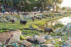 Bufflar i fältet i Vietnam, Nha Trang Arkivfoton