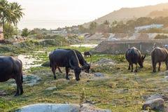 Bufflar i fältet i Vietnam, Nha Trang Royaltyfria Foton