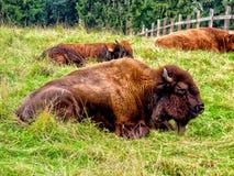 Bufflar i paddocken royaltyfria bilder
