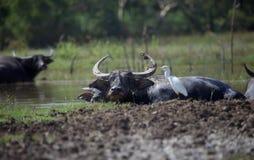 Bufflar i sjön Royaltyfri Bild