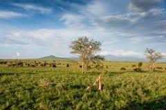 Bufflar i Tsavo den västra nationalparken i Kenya Kenya safari arkivbilder