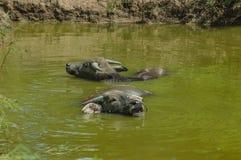 Bufflar i vatten royaltyfri foto