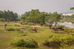 Bufflar near tonen, Vetnam Royaltyfri Fotografi