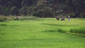 Bufflar och herder i risfält Arkivbilder