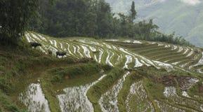 Bufflar och ris Arkivfoto