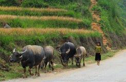 Bufflar på den lantliga vägen i Sapa, Vietnam Arkivfoto