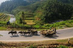 Bufflar på den lantliga vägen i Sapa, Vietnam Fotografering för Bildbyråer