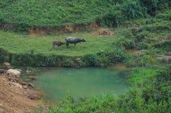 Bufflar på fältet med sjön i Hagiang, Vietnam Royaltyfri Foto