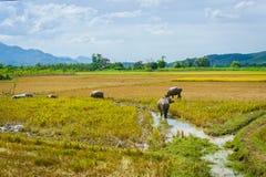 Bufflar på risfältet i Asien Fotografering för Bildbyråer
