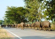 Bufflar på vägen Royaltyfri Bild