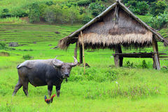 bufflar s thailand Arkivfoto