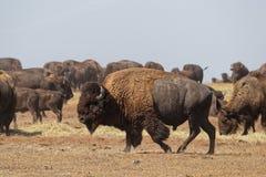 Bufflar samlas i badlandsna royaltyfria bilder