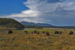 Bufflar som betar på den Yellowstone nationalparken royaltyfri fotografi