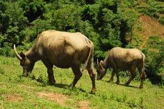 bufflar som betar vatten Fotografering för Bildbyråer