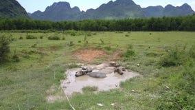 Bufflar vilar i den lilla sjön i äng på den varma dagantennen arkivfilmer