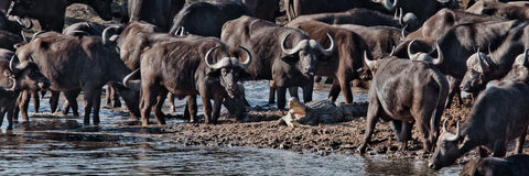 Bufflar vs krokodil Arkivfoto