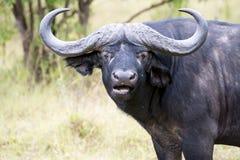 Buffle africain photographie stock libre de droits