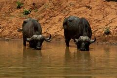 buffle africain images stock